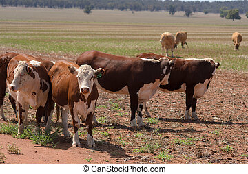 mammal - small mob of cattle in a grass pasture