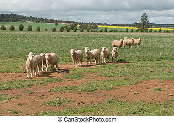 mammal - 4 ewes and lambs in a grass pasture
