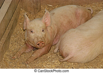 mammal - a close-up of 2 pigs laying on straw