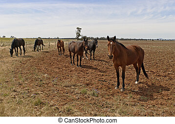 mammal - mob of horses spelling in rural field and cloudy...