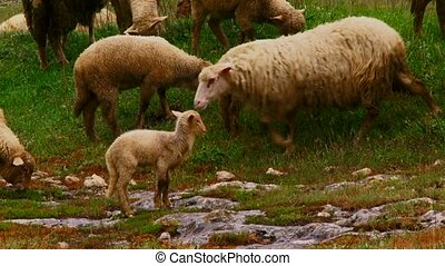 Mammals on a pasture. Herd of sheep in the rain. On stony soil. Brightly green meadows.