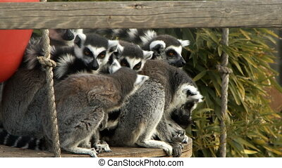 mammifère, animal, zoo, nature, lemur