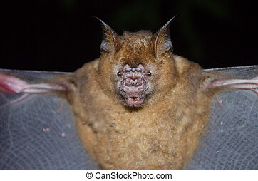 "mammifère, appeler, ""vampire"", chauve-souris"