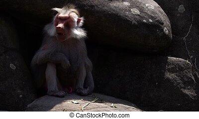 mammifère, chimpanzé, animal