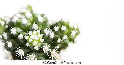 Mammillaria gracilis arizona snow cactus or snowcap isolated...