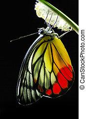 manía, nature., milkweed, nacido, bebé, mariposa del monarca