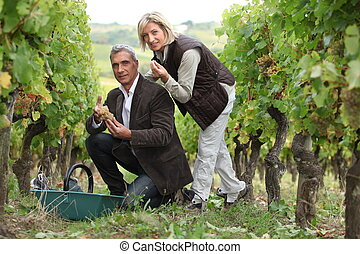 Man and woman picking grapes in a vineyard