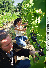 man and woman working in a vineyard