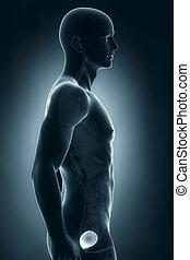 Man bladder lateral antomy - Man bladder lateral anatomy