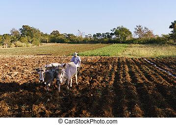 man, bonde, på arbete, plöjning, den, smutsa, med, oxe