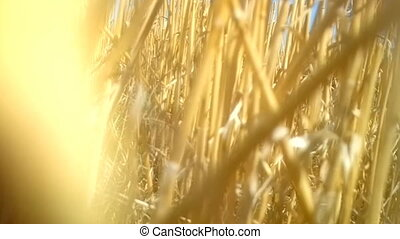 Man camera sneaks through thick reed beds