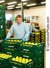 Man checking quality at apples factory