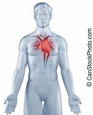 man, circultory, anatomi, system, isolerat, ställning