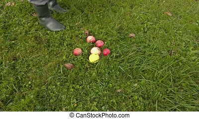 Man collect apples in grass