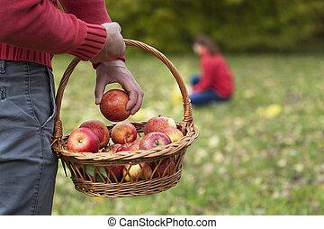 Man collecting autumn apples