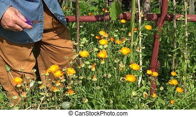 Man collecting calendula blooms, 4K - Gardener collecting...