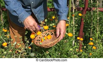 Man collecting calendula blossoms