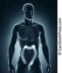 Man colon natomy anterior view