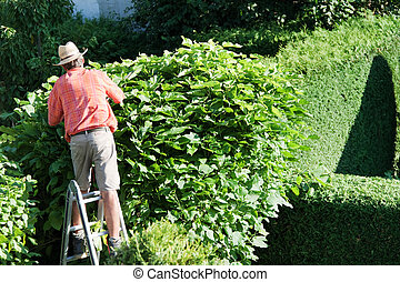 man cut the hedges - a man cutting a hedge in the garden. ...