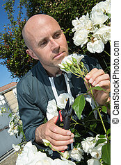 man cuts off the rose in the garden