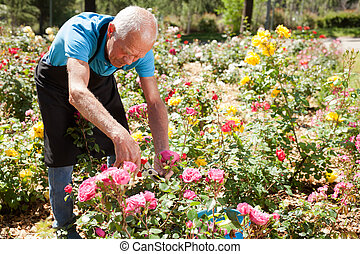 Portrait of senior man cutting back shoots of rose bushes at flowerbed in park