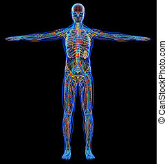 Man diagram x-ray cardiovascular, nervous, limphatic and skeletal systems.