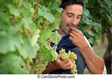 Man eating grapes in vineyard