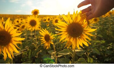 man farmer examines sunflower crop in field cloudy sky...