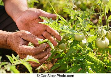 Man Farmer Tomato Field Showing Millepede Bug On Leaf