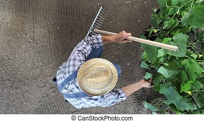 man farmer working in vegetable garden, check a plants of cucumber, top view and copy space template