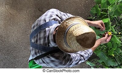 man farmer working in vegetable garden, take care a plants of cucumber, top view and copy space template
