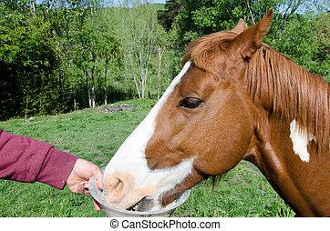 Man feeding his horse. - TAIPA, NZ - OCT 20:Man feeding his ...