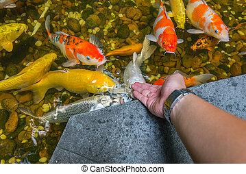 Man feeding Japanese Koi fish in the pond