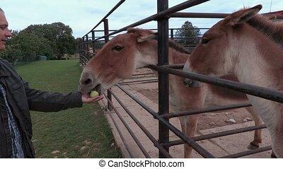 Man feeding mules