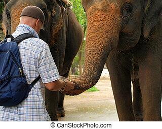 Man feeds an Elephant - Friendly elephant eats bananas from...