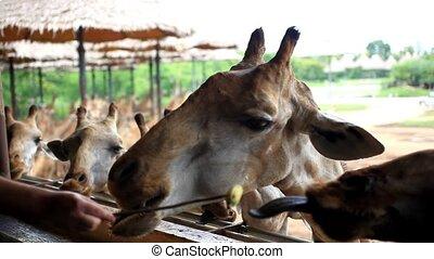 Man feeds giraffes in Safari park. Bangkok, Thailand. HD. 1920x1080