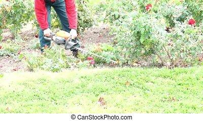 Man gardener cut the garden roses