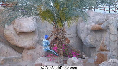Man Gardener on a Palm Tree Chops off Palm Branches with an...