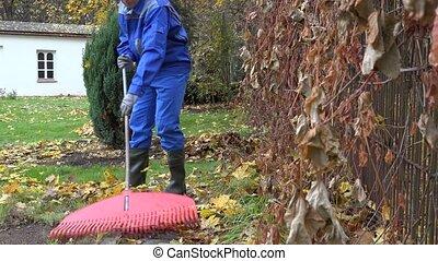 man gardener rake autumnal leaves with big red rake garden. 4K