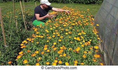 man gather marigold blossom in wicker basket flower garden....