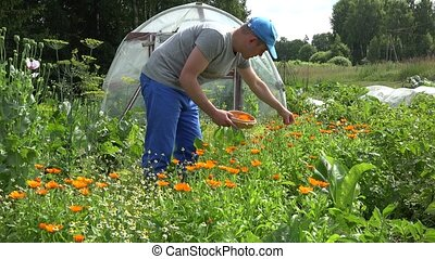 man gather marigold blossom on wicker plate in summer garden. 4K