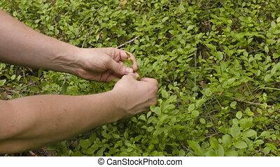 Man gathering bilberries
