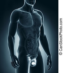 Man genitals anatomy - Male anatomy