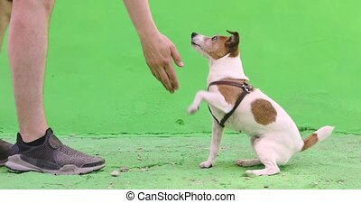 Man gives a command to dog during walk on green background....