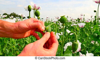 Man hand are opening white poppy bud in large field. Check...