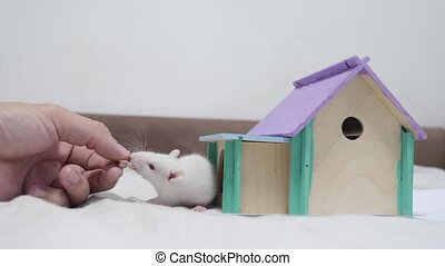 man hand feeding a rat rat coming fighting for food out top of wooden house sniffing nose a hole cute video out of the burrow of a house and sniffs food in search of food . cute mouse albino rat pet goes to the house. white rat lifestyle concept cute