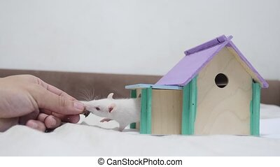 man hand feeding a rat rat coming fighting for food out top of wooden house sniffing nose a hole cute video out of the burrow of a house and sniffs food in search of food . cute mouse albino rat pet goes to the house. white lifestyle rat concept cute