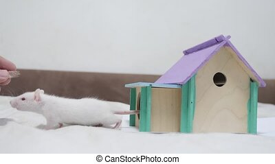 man hand feeding a rat rat coming fighting for food out top of wooden house sniffing nose a hole cute video out of the burrow of a house and sniffs food in search of food . cute mouse albino rat pet goes to the house. white rat concept cute lifestyle
