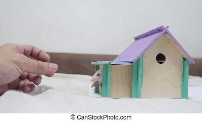 man hand feeding a rat rat coming fighting for food out top of wooden house sniffing nose a hole cute video out of the burrow of a house and sniffs food in search of food . cute mouse albino rat pet goes to the house. white rat concept lifestyle cute