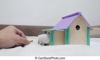 man hand feeding a rat . rat coming out of wooden house sniffing nose a hole cute video out of the burrow of a house and sniffs food in search of food . cute mouse albino rat pet goes to the house. white rat concept lifestyle cute